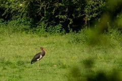 Zwarte ooievaar (Ciconia nigra)