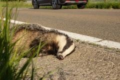 Een trieste foto, de vorige avond had ik de das over een weiland zien zitten. Deze ochtend trof ik hem zo aan.