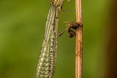 libellen en juffers (1)