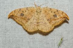 Berkeneenstaart (Drepana falcataria)