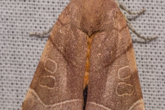 Breedbandhuismoeder vrouwtje (Noctua fimbriata)