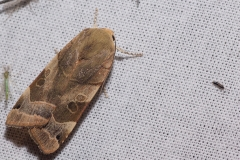 Breedbandhuismoeder mannetje (Noctua fimbriata)