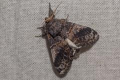 tandvlinder (Notodontidae sp.)