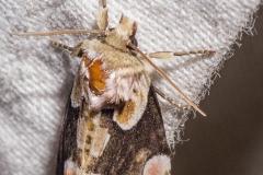 Braamvlinder (Thyatira batis)