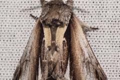 Brandvlerkvlinder (Pheosia tremula)