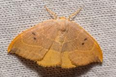 Gele eenstaart (Watsonalla binaria)