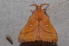 Kersenspinner (Odonestis pruni)