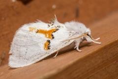 Tweekleurige tandvlinder (Leucondonta bicoloria)