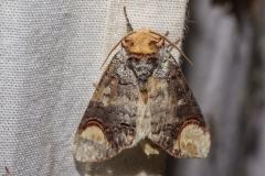 Wapendrager (Phalera bucephala)