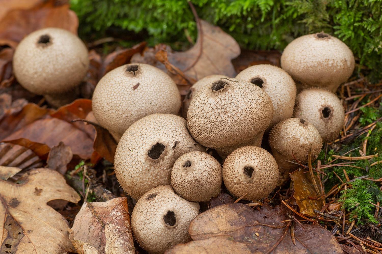 parelstuifzwam (Lycoperdon perlatum)