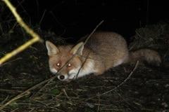 deze vos was compleet verrast door mijn nachtelijk bezoek