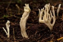rimpelige koraalzwam (Clavulina rugosa)