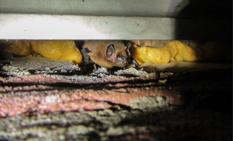 gewone dwergvleermuis (Pipistrelllus pipistrellus) onder het dakschot
