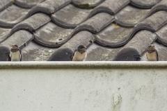 boerenzwaluw (Hirundo rustica) op onze dakrand