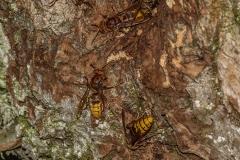 Hoornaar (Vespa crabro) nest in wilg