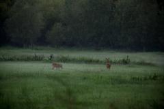 Reeën in de mist