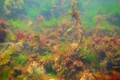 onderwaterlandschap met onder andere  Japans bessenwier (Sargassum muticum) en  Zeesla (Ulva lactuca)