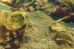 grondel (Gobius sp.)