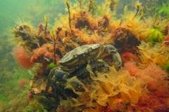 strandkrabben (Carcinus maenas)