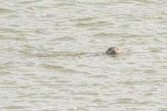 gewone zeehond (Phoca vitulina)