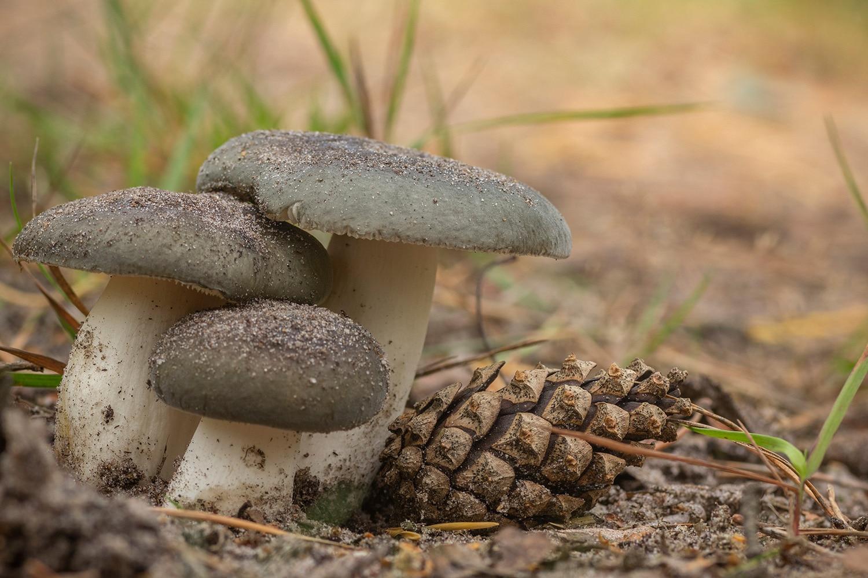 berijpte russula (Russula parazurea)