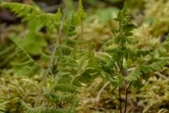 Linnaeusklokje (Linnaea borealis)