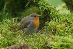 roodborst op onze Ardennen tafeltje (tuintafel met mos)
