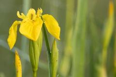gele lis (Iris pseudacorus)
