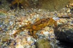 mini krab