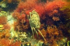 maxi krab