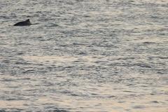 bruinvis, fotos maken viel niet mee dit keer