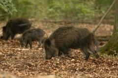 rotte zwijnen opzoek naar eikels