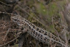 vrouwtje Zandhagedis (Lacerta agilis)