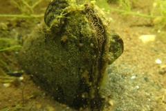 zwanenmossel (Anodonta cygnea)