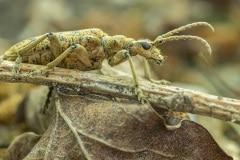 vermoedelijk Grote ribbelboktor (Rhagium sycophanta)