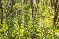 ook de Vingerhoedskruid (Digitalis purpurea) groeit dit jaar welig