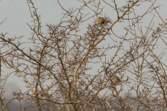 graspiepers (Anthus pratensis)