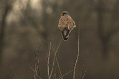 torenvalk (Falco tinnunculus) mannetje