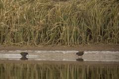 waterrallen (Rallus aquaticus)
