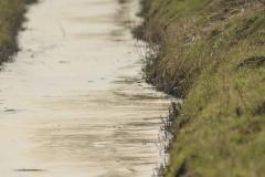 Zoekplaatje watersnippen (Gallinago gallinago)