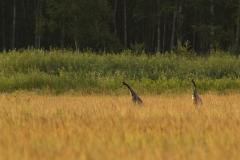 Kraanvogel (Grus grus) - Białowieża, Polen