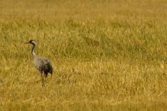 Kraanvogel (Grus grus) - Белавежская пушча, Belarus