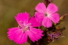 steenanjer (Dianthus deltoides) de kleur van deze bloemen zijn ongelooflijk fel.