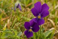 het Gele viooltje (Viola lutea) uit de Vogezen en de Alpen. Viola lutea ssp. lutea komt tegenwoordig nog voor in de Alpen, Vogezen, in Sudeten en de Steiermark. Dit Gele viooltje is niet altijd geel. Bij de Hohneck in de Vogezen komt het ook in blauwe kleur voor.