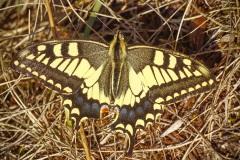 koninginnenpage (Papilio machaon) er vlogen er twee rond.