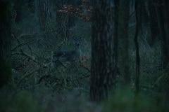 damherten in het donker