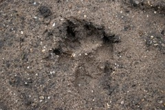 Wolf of toch hond? Het blijft gissen.