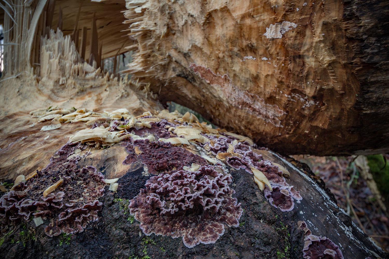 Paarse korstzwam  (Chondrostereum purpureum) om boom die omgeknaagd is door bevers