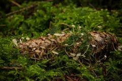 Muizenstaartzwam (Baeospora myosura)