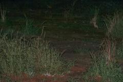 woestijnvos (Vulpes zerda)